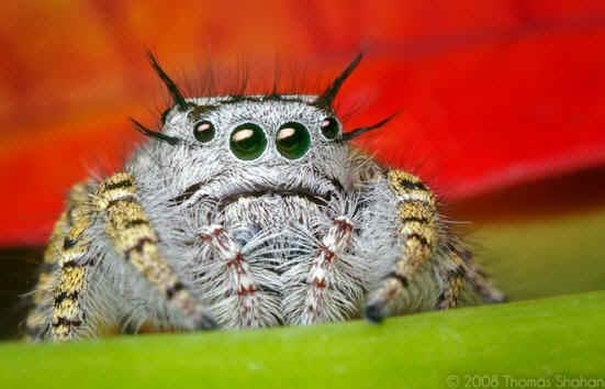 2865-QZE08186-QEQ04081-jumping-spider